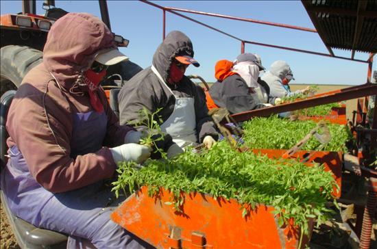 trabajadores en tomate
